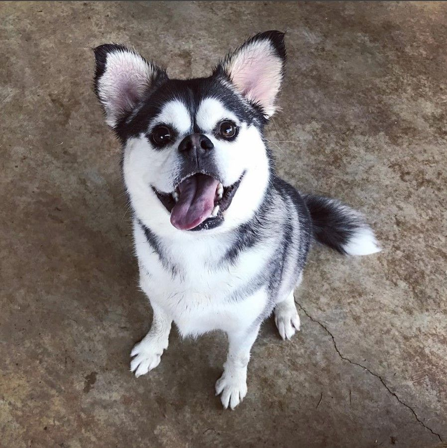 Husky pug mix sticking tongue out and looking at camera
