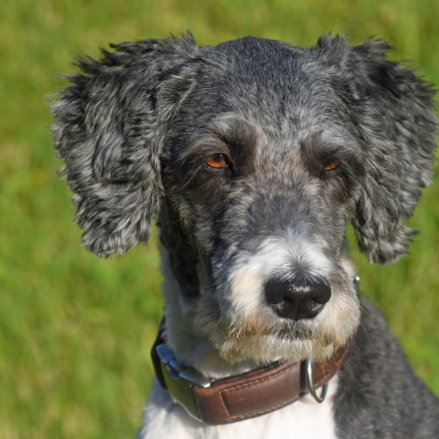 Australian shepherd poodle mix starring straight ahead