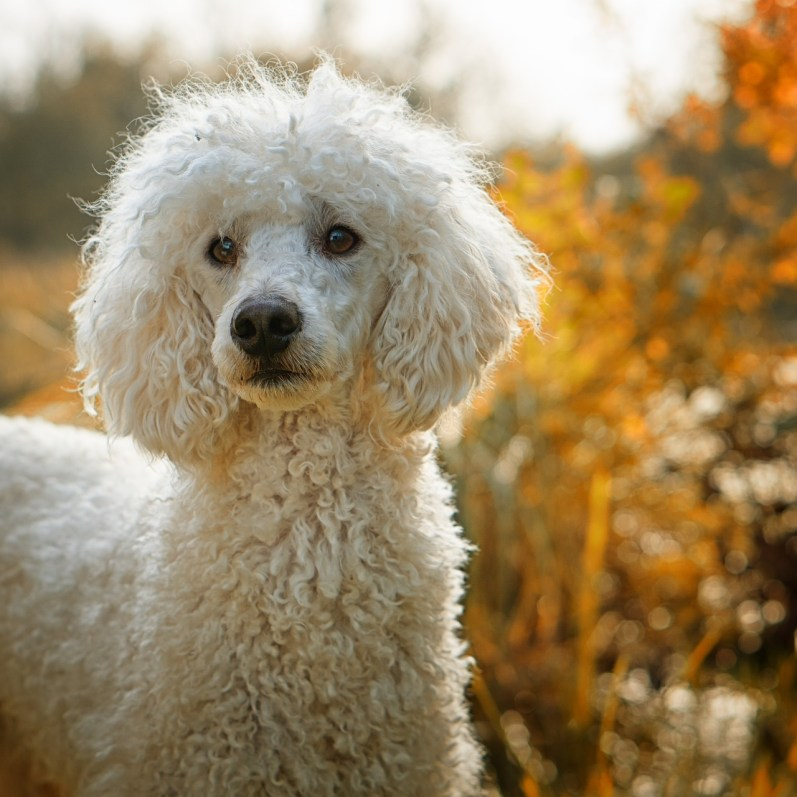 white poodle dog looking straight ahead