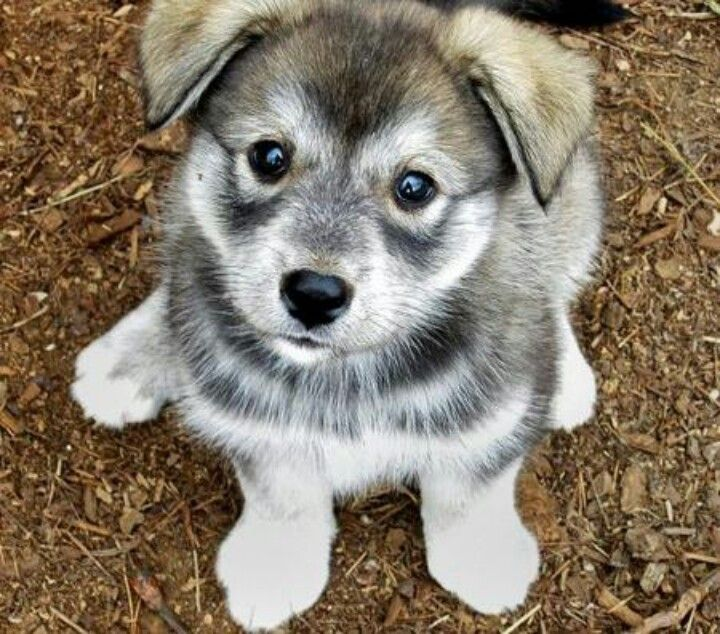 white and grey husky pug mix looking up at camera