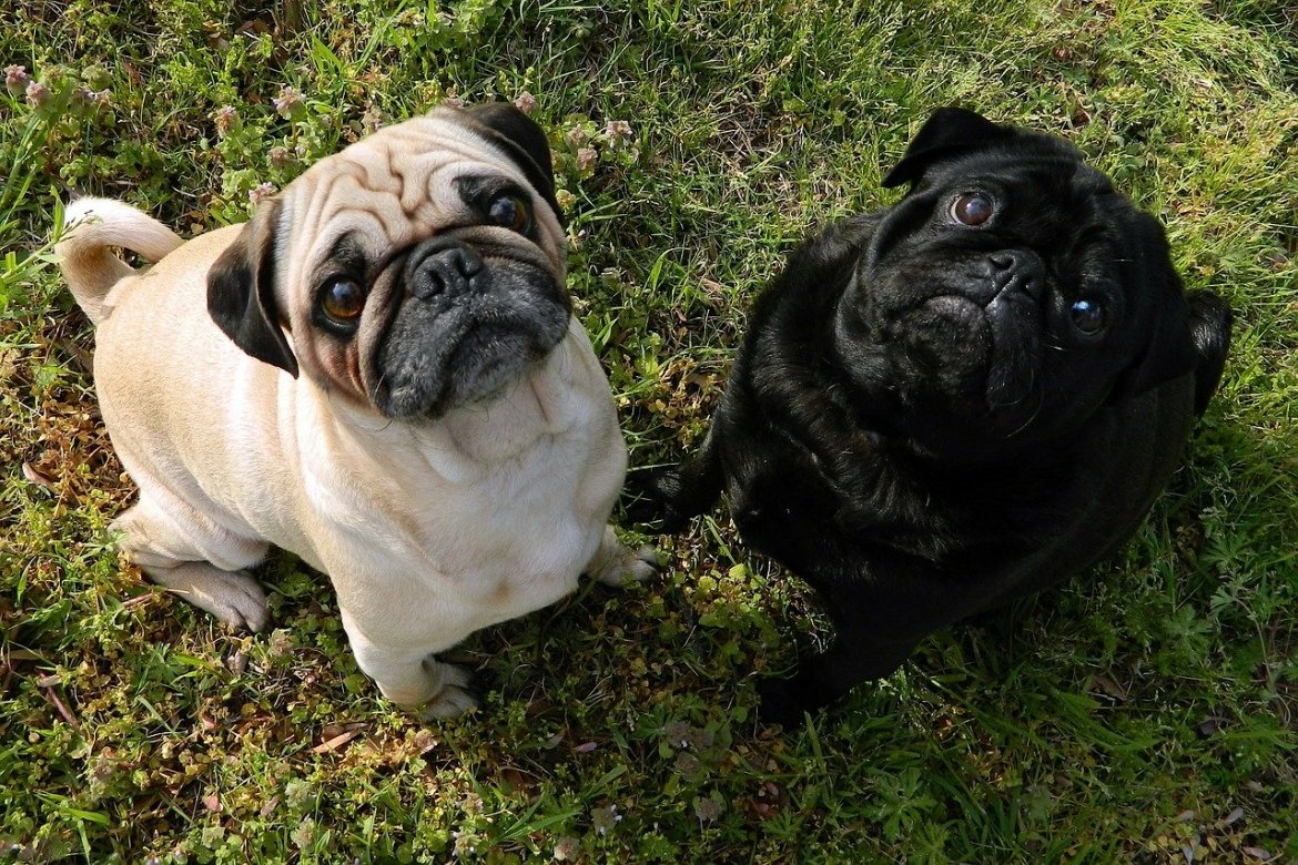 Two pug dogs, one black one brown standing on grass and looking up