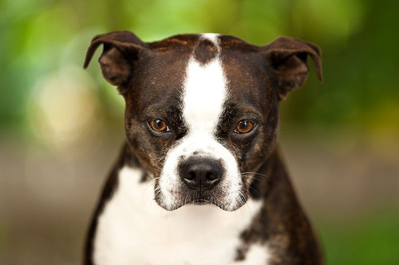 Boston Terriers are one of the breeds prone to canine atopy.