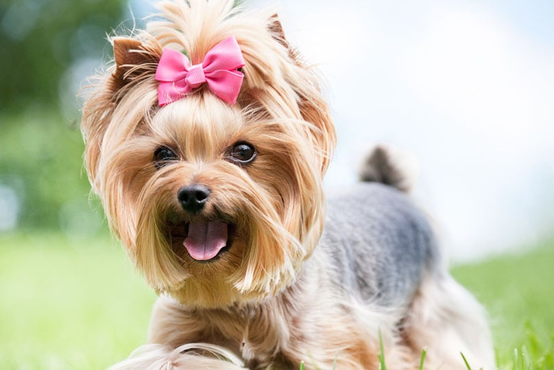 happy Yorkshire Terrier with a pink hair bow on its head
