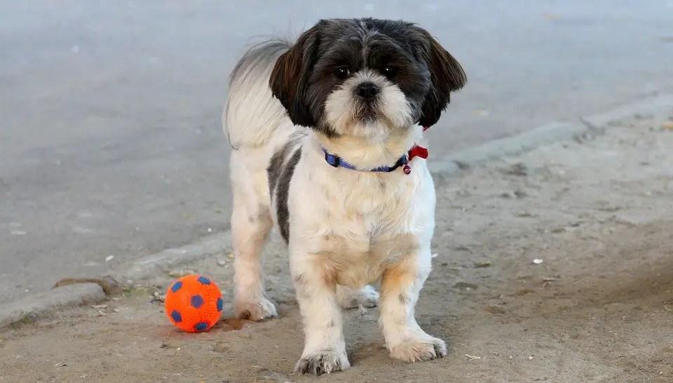 7 Secret Hacks Of Shih Tzu Puppy Training How To Train A Dog