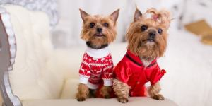Low shedding dogs_Yorkies
