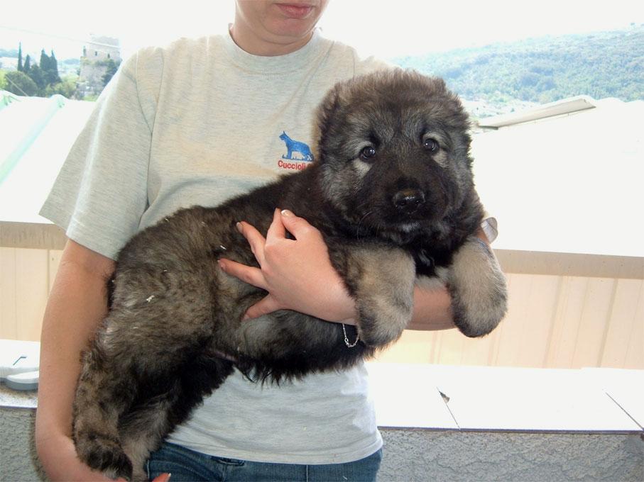 Le foto dei cuccioli di pastore kaukaso pastore tedesco