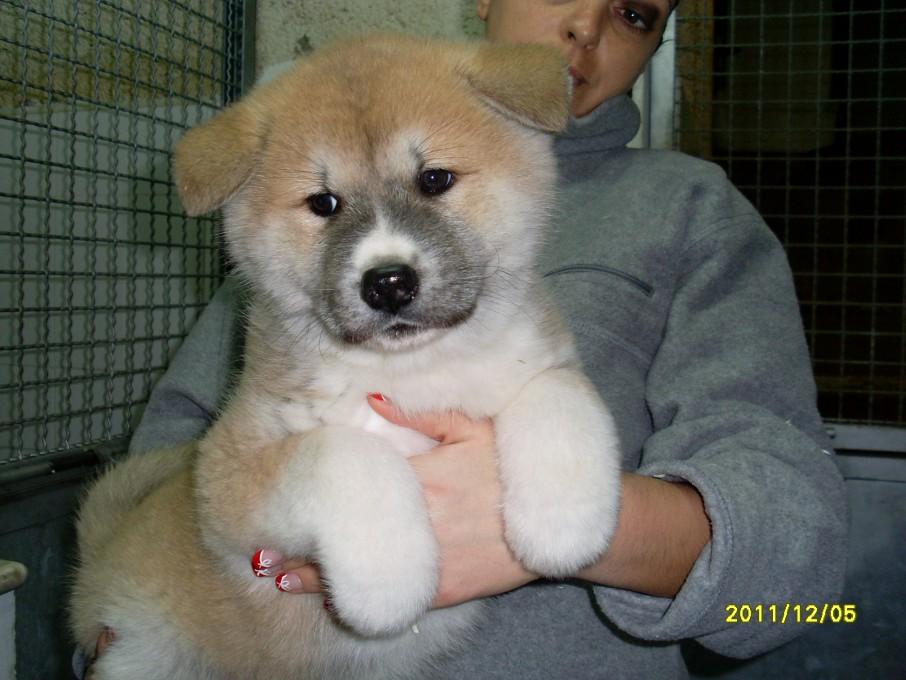 Akita Inu  Dogs House  Angeli con le Code ASD Cinofila