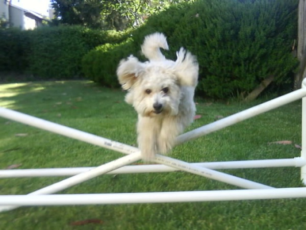 Cocapoo dogs love to be active and learn agility games and cues.
