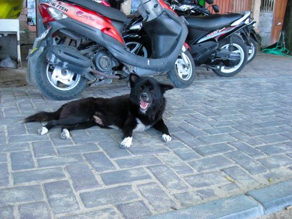 Bali motorscooter dog