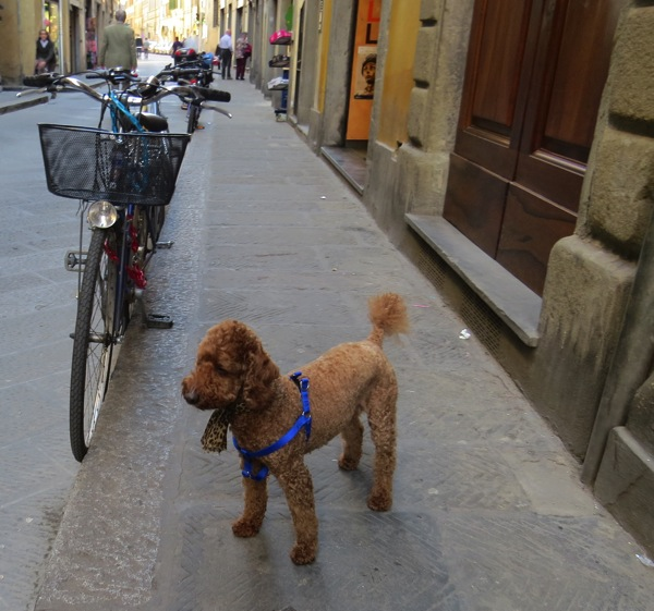 Red poodle + bike