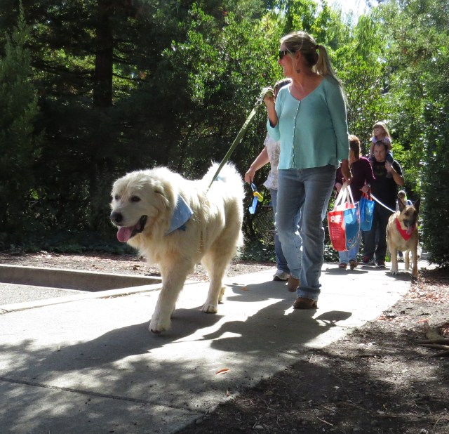 Malakai, a Great Pyrenees walking for shelter pets
