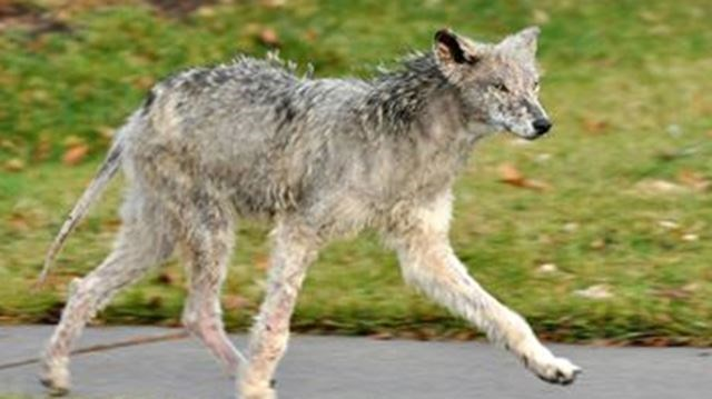 Coyote photographed after an attack on dog.