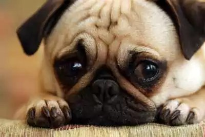 Misdiagnosis If a dog is nervous think twice about neutering