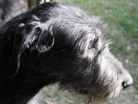 Irish Wolfhound Diet