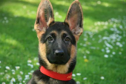 German Shepherd Puppy. Care Guide For Puppies