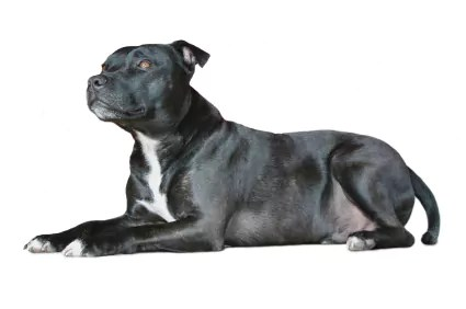 The Stafforrdshire Bull Terrier. One of the best Family Dogs