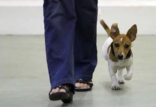 Terrier heeling off lead in my Puppy Class