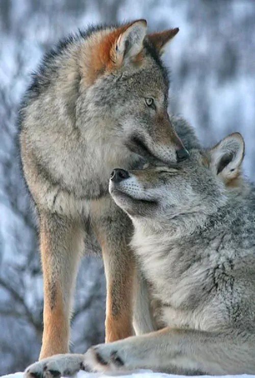 Are Wolves controlled by an Alpha or their parents