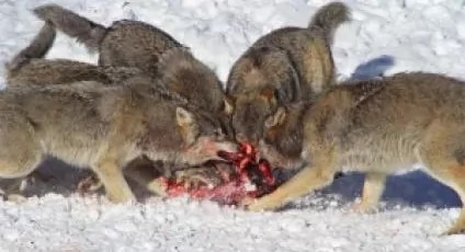 Are These Wolves Standing in line or have numbers on their back?