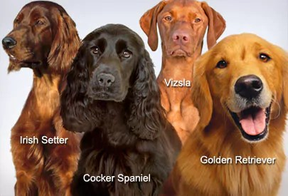 A group of Gun Dogs That Can Get Cocker Rage