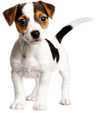 Young Jack Russell Puppy Would you Neuter This Dog?