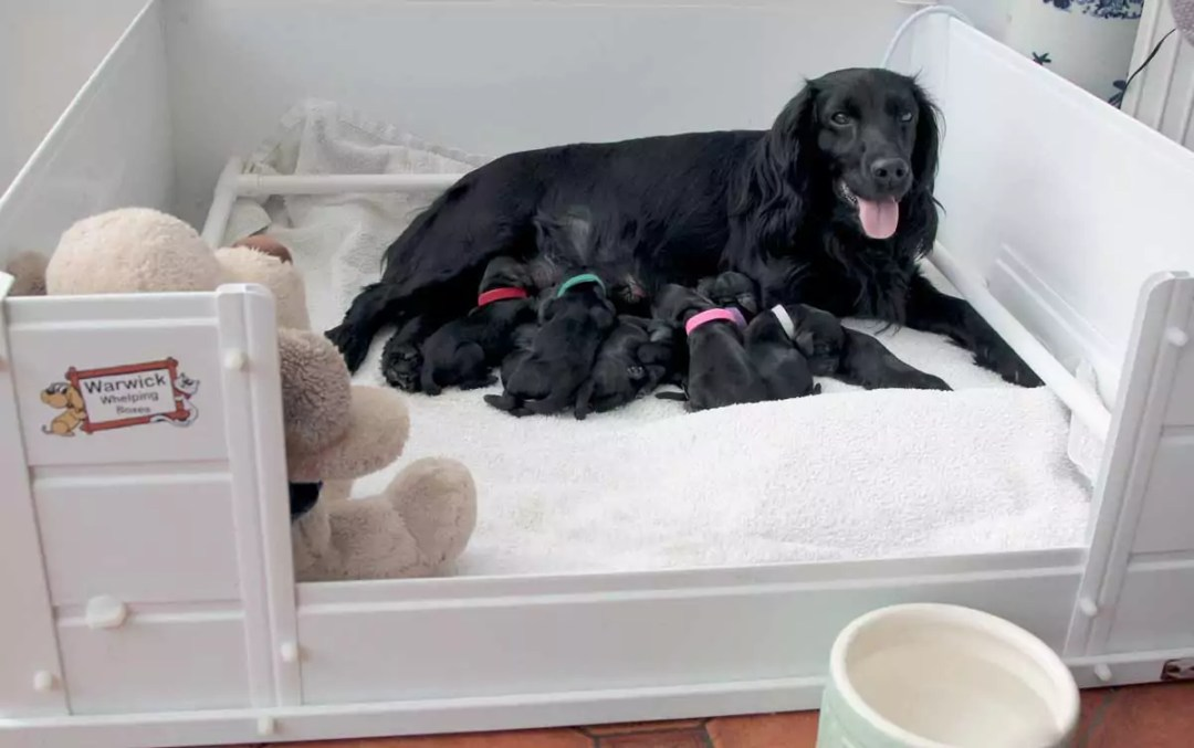 This is my litter of puppies look at the difference between these and the puppy farmed crates