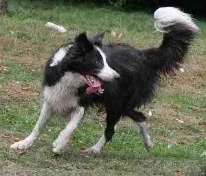 Maggie Border Collie