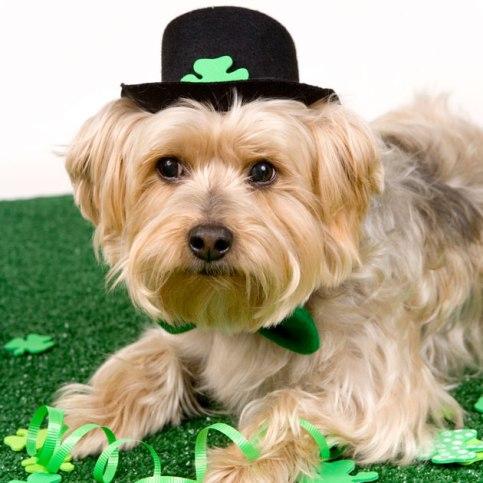 St-Patricks-Day-Dog