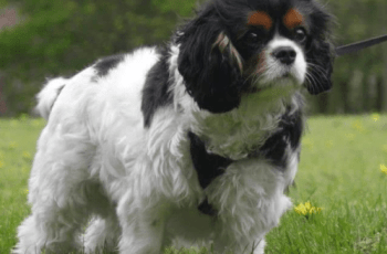 Dismay Over Crufts' Cavalier Best of Breed Winner's Early Breeding Career 4