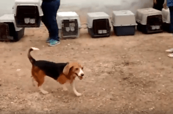 See The Joy as Beagles Freed From Testing Facility Taste Freedom for the First Time 15