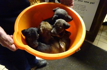 Puppies Dumped in a Bucket & Left on a Doorstep 3