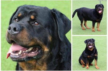 Banned Couple Had Overweight Rottweiler Because They Didn't Want to be Caught 3