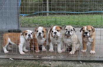 Is The British Government Doing Enough To Tackle Puppy Smuggling? This Charity Says No! 7