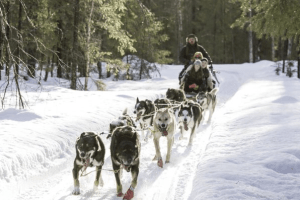 Want To Go Dog Sledding In Lapland? Here's How To Do It 2