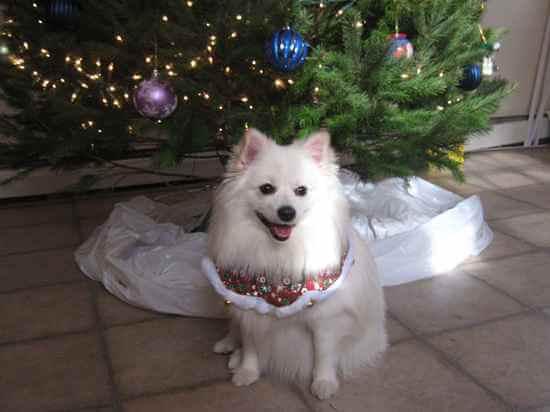 Cute Pomeranian Puppies Wallpaper Top 12 American Eskimo Dog Cross Breeds Dogmal Com