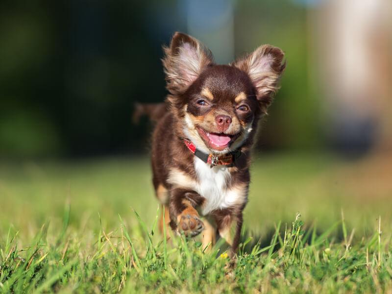 Cute Pomeranian Wallpaper Pomchi Pomeranian Chihuahua Mix Appearance