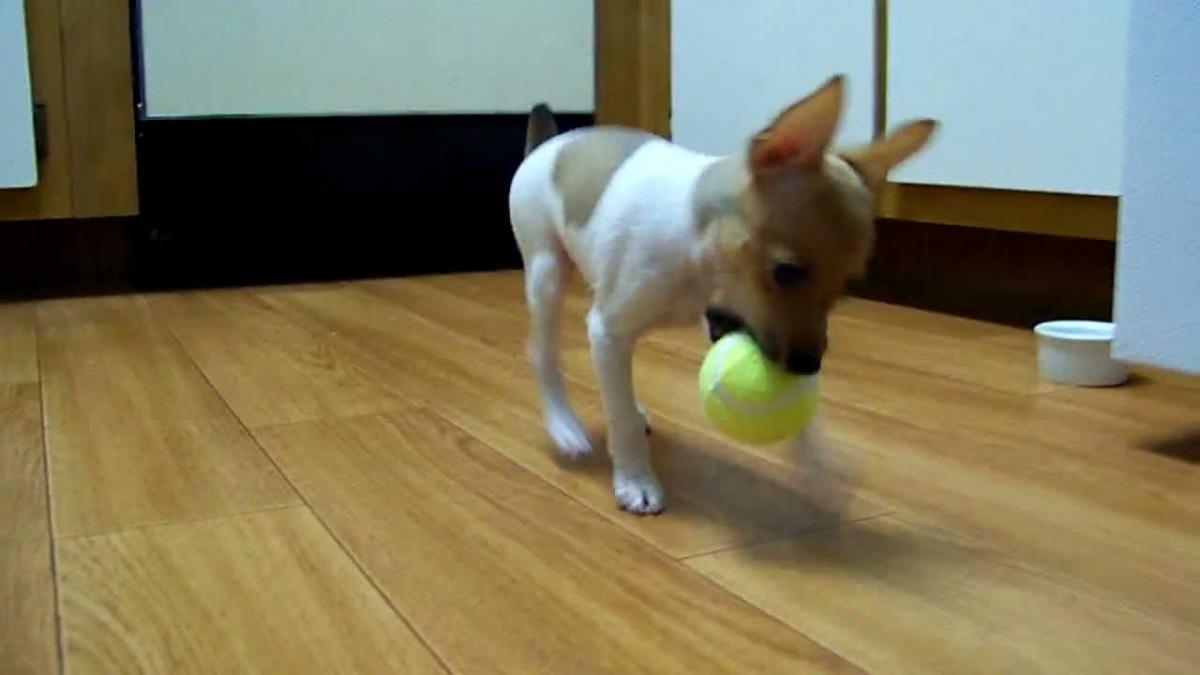 Welsh Corgi Purebred Dogs Adoption