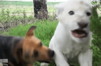 dog-and-lion-become-friends