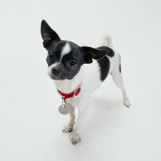 Small Breed Dog Food (Chihuahua)