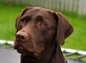 health problems of Labrador retriever