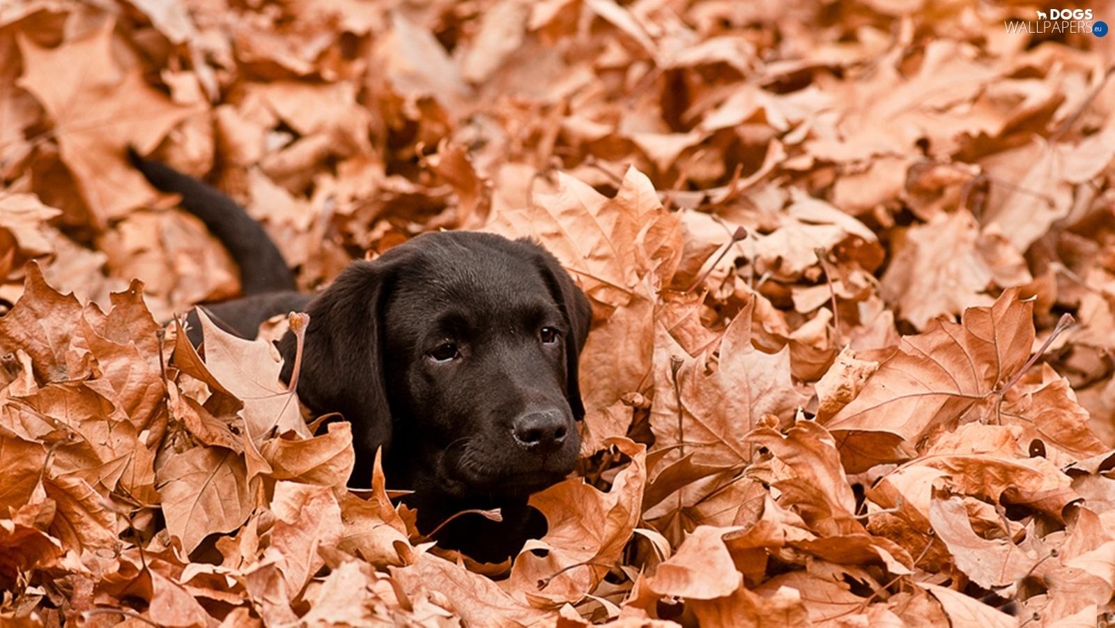 Black Lab Fall Wallpaper Leaf Autumn Black Labrador Dogs Wallpapers 1600x901