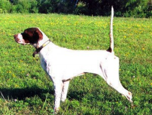 Modern English Pointer in US, Nitro's Elhew All American