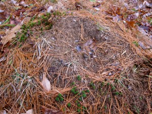 Anthill with grouse droppings