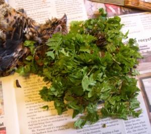 Ferns & buds from a Ruffed Grouse's crop
