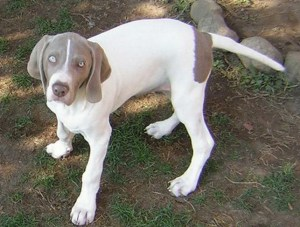 German bred dog, apparently the result of a Weim x GSP (with Weim blood) cross.