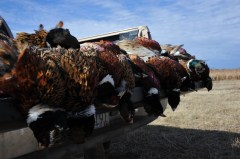 100% Wild South Dakota Ringneck Pheasants