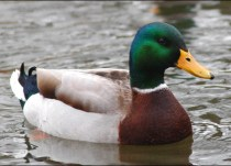 Mallards - number of 15% in 2012