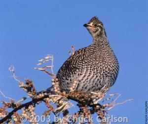 Sharptail grouse in Montana
