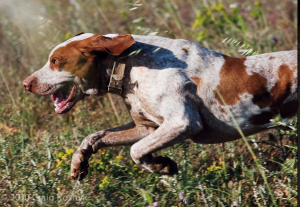 The Majorcan Pointer