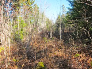 More big woods cover. This is an old skidder trail.